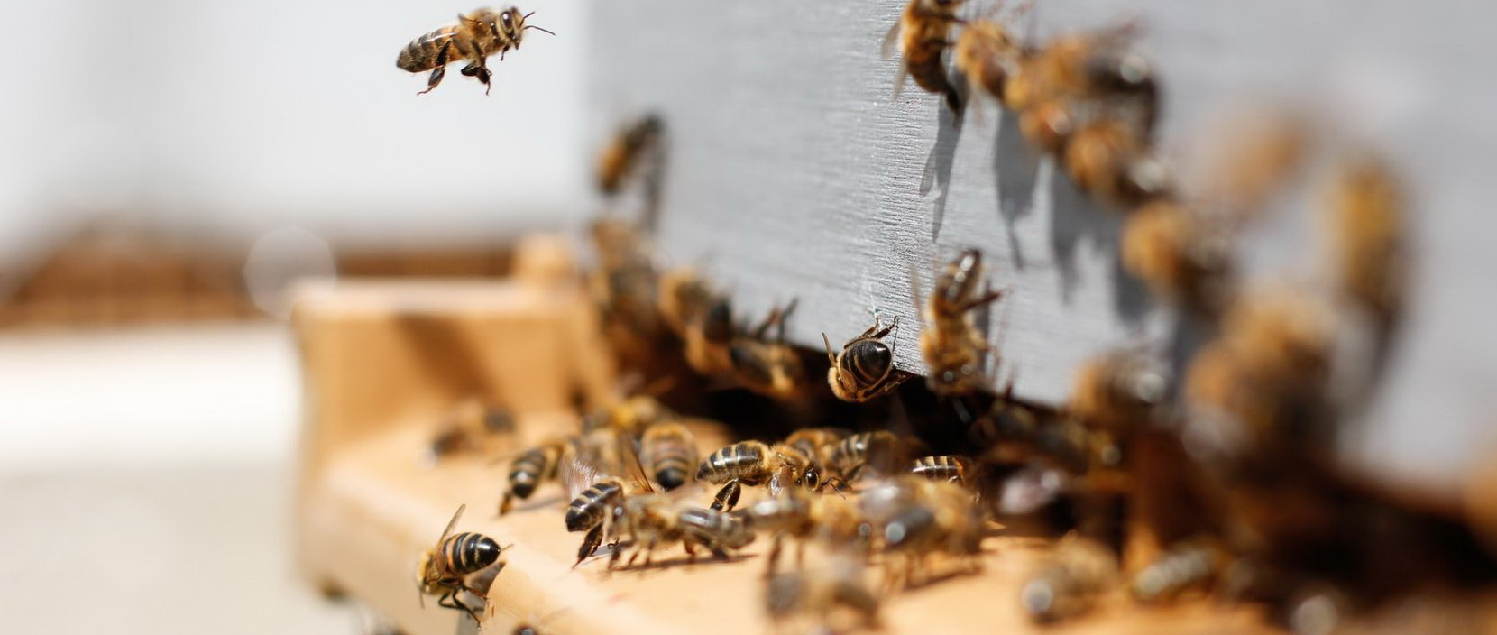adotta un arnia api miele ronchello